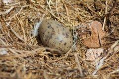huevo Amarillo-legged de la gaviota Imagen de archivo libre de regalías