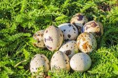 Huevo de codornices en una hierba verde Fotos de archivo