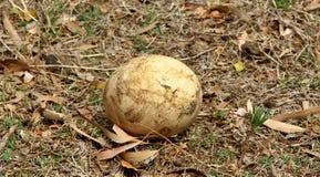 Huevo de la avestruz Fotografía de archivo