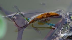 Huevo de la endecha del Damselfly y el disturbio de los pescados almacen de metraje de vídeo