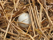 Huevo de los patos Imagen de archivo libre de regalías