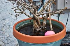 Huevo de Pascua rosado ocultado en maceta por completo de agua de lluvia congelada durante caza del huevo fotos de archivo