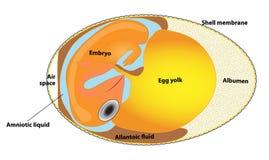 Huevo del pájaro de la estructura. embrión del pájaro. ilustración del vector
