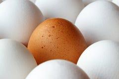 Huevo del pollo de Brown entre los huevos blancos en bandeja de la cartulina Imagen de archivo