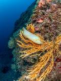 Huevo del tiburón en gorgonian amarillo, cavolini de Eunicella Procida, Medi imágenes de archivo libres de regalías