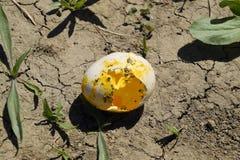 Huevo escogido del pollo en la tierra fotografía de archivo