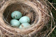 Huevos americanos del petirrojo Foto de archivo