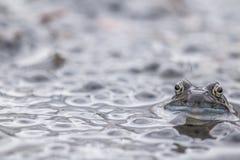 Huevos comunes de la rana en agua Imagen de archivo libre de regalías