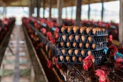Huevos crudos de las granjas que esperan la distribución imagen de archivo