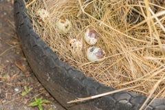 Huevos de codornices - huevos de codornices en el heno amarillo, foco selectivo Imágenes de archivo libres de regalías