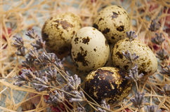 Huevos de codornices en la hierba Foto de archivo libre de regalías