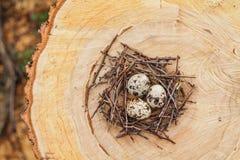 Huevos de codornices en la jerarquía Fotos de archivo
