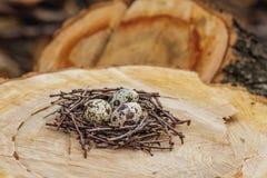 Huevos de codornices en la jerarquía Fotografía de archivo