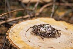 Huevos de codornices en la jerarquía Foto de archivo