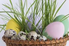 Huevos de codornices en un cierre joven de la hierba para arriba Fotografía de archivo libre de regalías