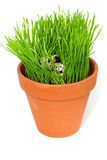 Huevos de codornices en una hierba verde Fotografía de archivo libre de regalías