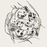 Huevos de codornices en una jerarquía de la hierba Fotografía de archivo