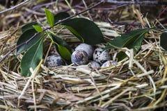 Huevos de codornices en una jerarquía de la paja Fotografía de archivo