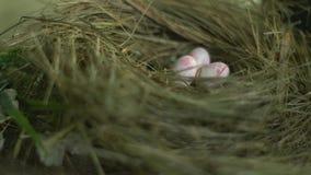 Huevos de codornices de la rosa del blanco en la jerarquía