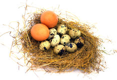 Huevos de codornices y dos huevos del pollo en una jerarquía Fotos de archivo libres de regalías