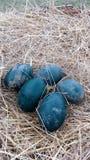 Huevos de la avestruz Fotos de archivo