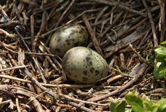 Huevos de la gaviota Foto de archivo