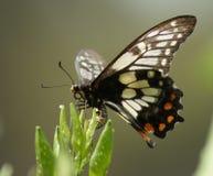 Huevos de la mariposa Imagen de archivo libre de regalías