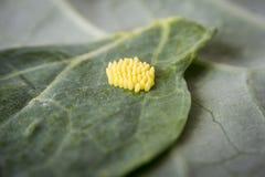 Huevos de la mariposa de col blanca grande Imagen de archivo libre de regalías