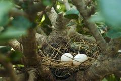 Huevos de la paloma de la cebra Imagenes de archivo