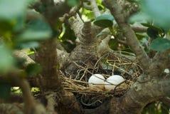 Huevos de la paloma de la cebra Fotografía de archivo libre de regalías