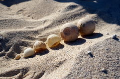 Huevos de la tortuga de mar del bebé Fotos de archivo libres de regalías