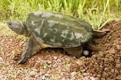Huevos de la tortuga de rotura Imágenes de archivo libres de regalías