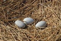 Huevos de los pájaros en la jerarquía fotografía de archivo libre de regalías