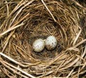 Huevos de los petirrojos Fotografía de archivo