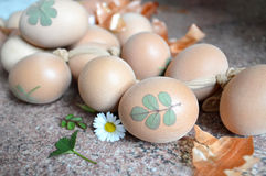 Huevos de Pascua adornados con las hierbas, preparadas para colorear con la cebolla Imagen de archivo libre de regalías