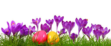 Huevos de Pascua coloridos y azafrán púrpura Fotografía de archivo libre de regalías