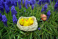 Huevos de Pascua coloridos y pequeños pollos en una cesta en una hierba verde Foto de archivo libre de regalías