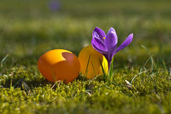 Huevos de Pascua con el azafrán en primavera Foto de archivo