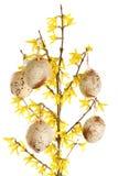 Huevos de Pascua en ramificaciones del forsythia Fotos de archivo