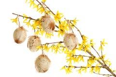 Huevos de Pascua en ramificaciones del forsythia Fotografía de archivo libre de regalías