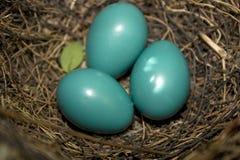 Huevos del Catbird Fotografía de archivo