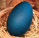 Huevos del emú Imagenes de archivo