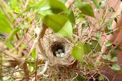 Huevos del gorrión Imagenes de archivo