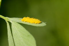 Huevos del insecto imagenes de archivo