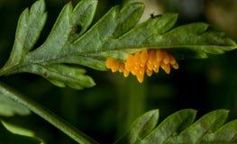 Huevos del insecto imagen de archivo libre de regalías