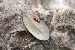 Huevos del insecto en la hoja Imagen de archivo