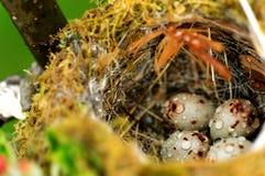 Huevos del pájaro en jerarquía Imagen de archivo libre de regalías