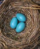 Huevos del petirrojo Fotografía de archivo libre de regalías