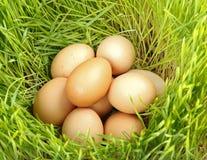 Huevos del pollo entre el trigo verde Imagenes de archivo