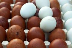 Huevos ecológicos naturales del color marrón y azul Imagen de archivo